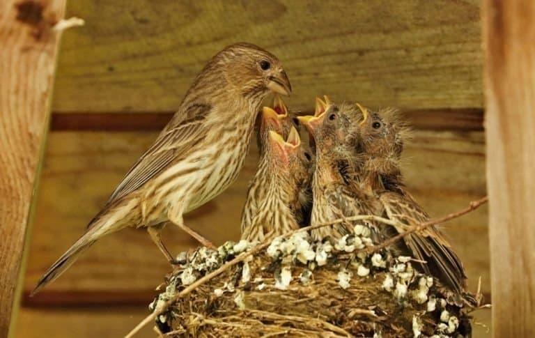 Female red finch feeding babies in a nest, Wisconsin.