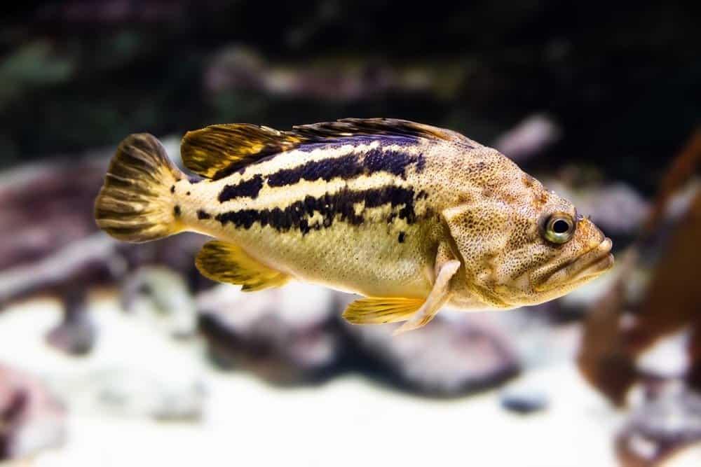 Swimming Black rockfish