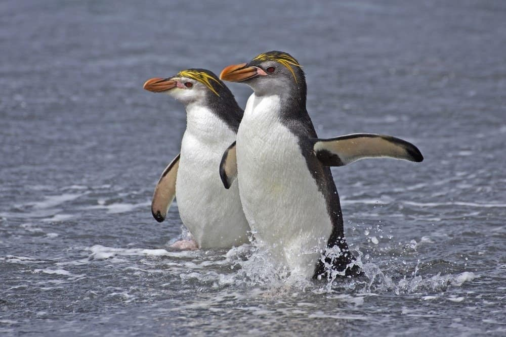 Two Royal Penguins in the water, Macquarie Islands, Australia