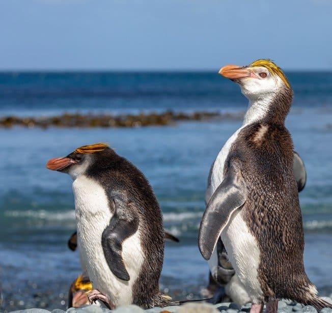 Adult and juvenile Royal Penguins