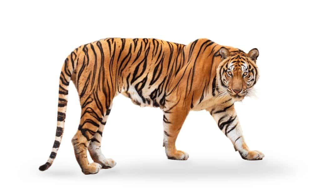 Tiger isolated on a white background