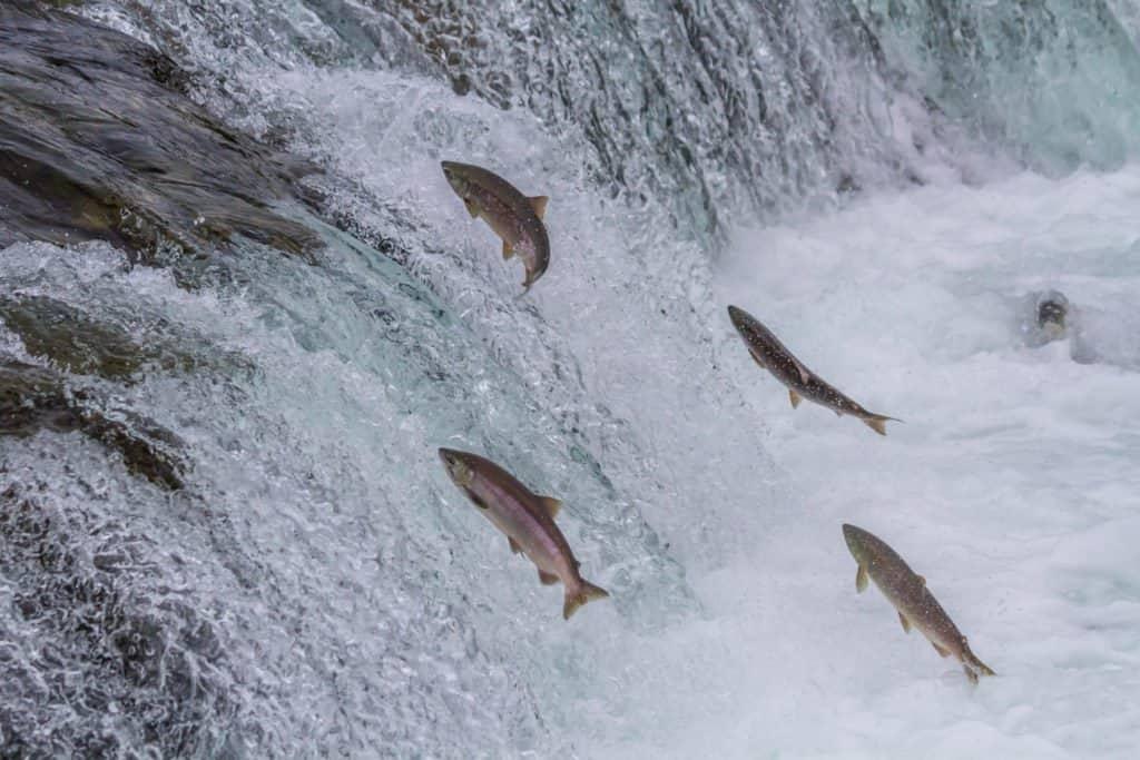 salmon going upstream