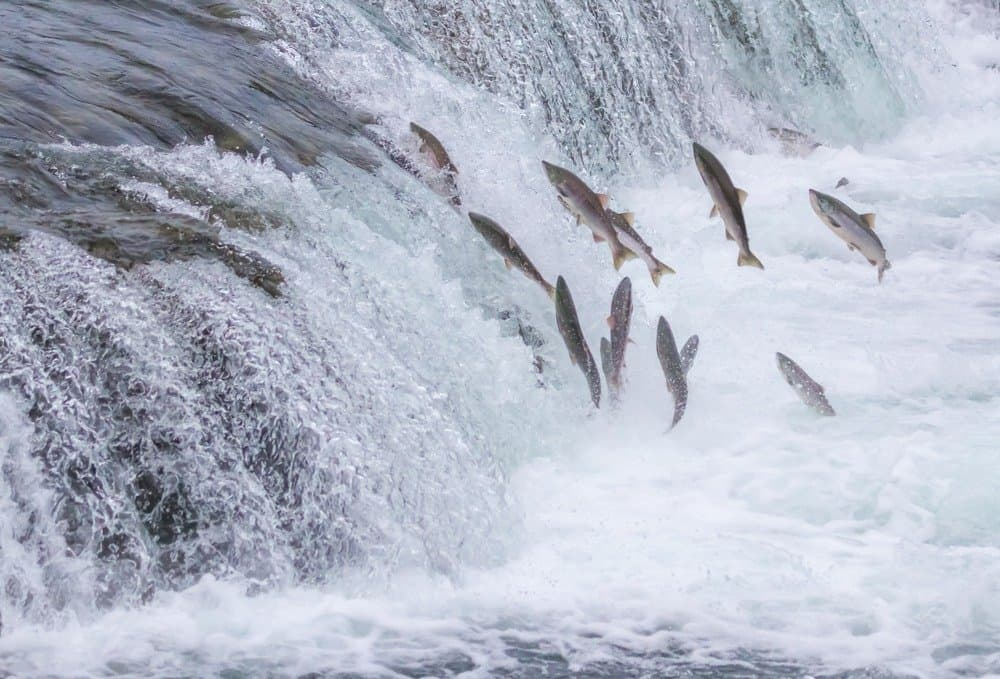 Salmon jumping in Alaska