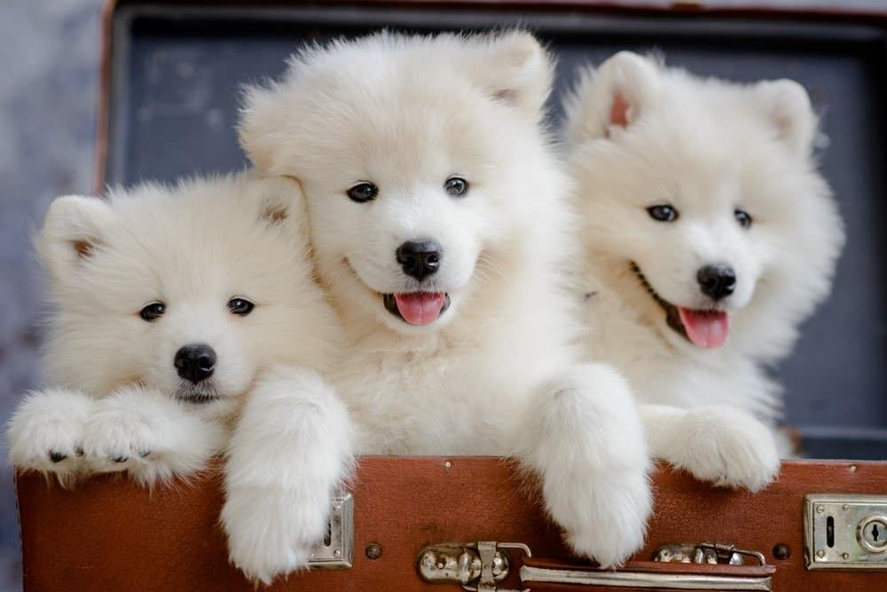 Close-up of three Samoyed puppies sitting in a suitcase against blurred blue background looking at the camera