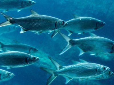 A Sardines