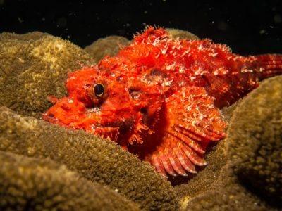 A Scorpion Fish