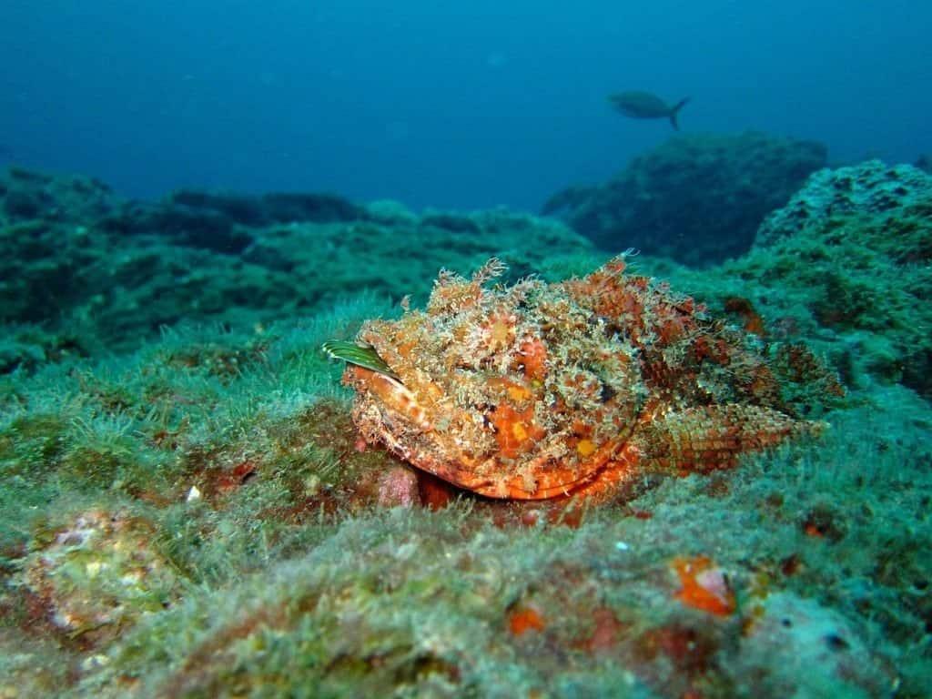 El pez escorpión se camufla con el fondo marino y espera para emboscar a la presa que pasa.