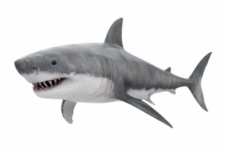 Great White Shark Isolated on white background