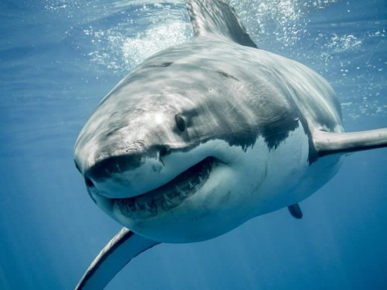 Great White Shark smiling at the camera
