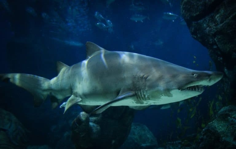Ragged tooth shark in the ocean