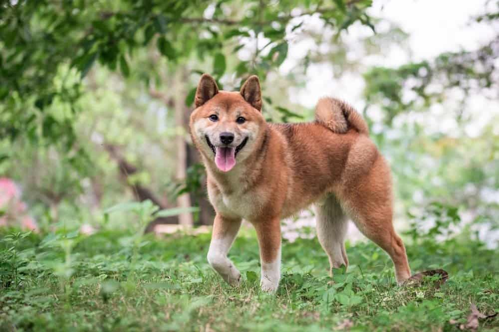 Shiba Inu outside on grass