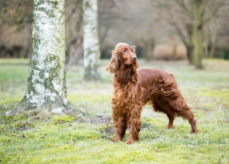 Adult Irish Setter Standing In The Woods