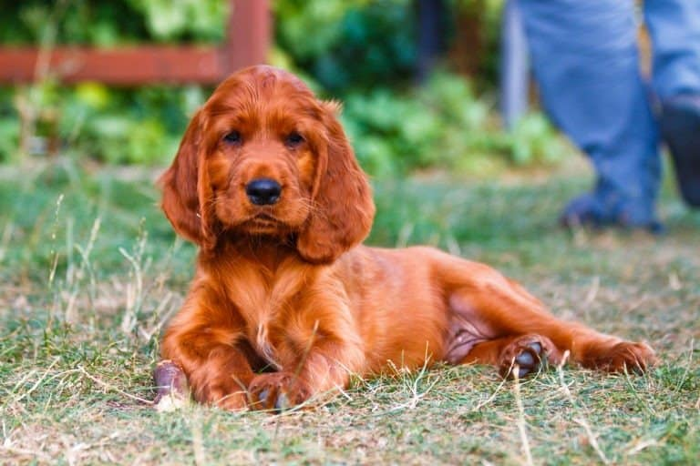Irish Setter Puppy Sitting In the Grass