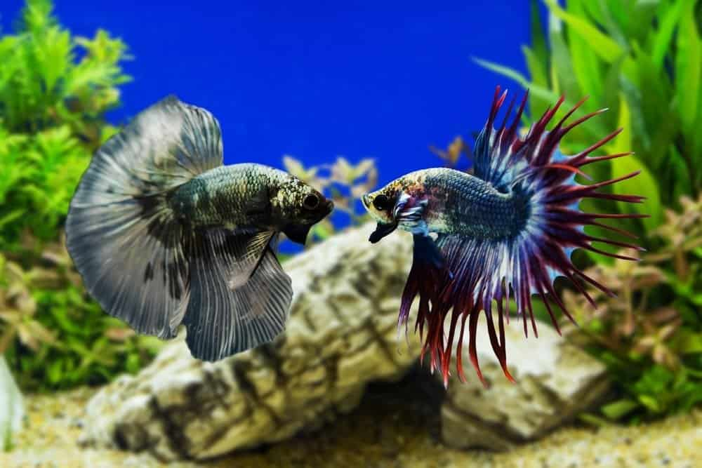 Siamese Fighting Fish Facts