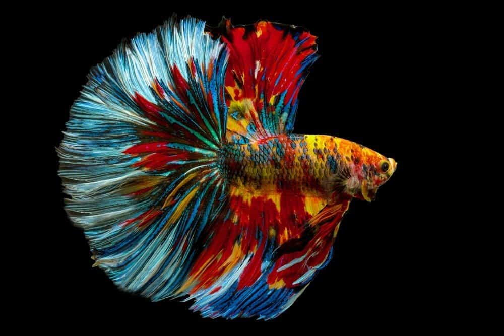 Betta splendens, Siamese fighting fish, Fancy Rainbow multi color half moon long tail isolated on black background