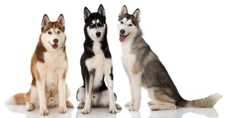 Three Siberian husky dogs on white background