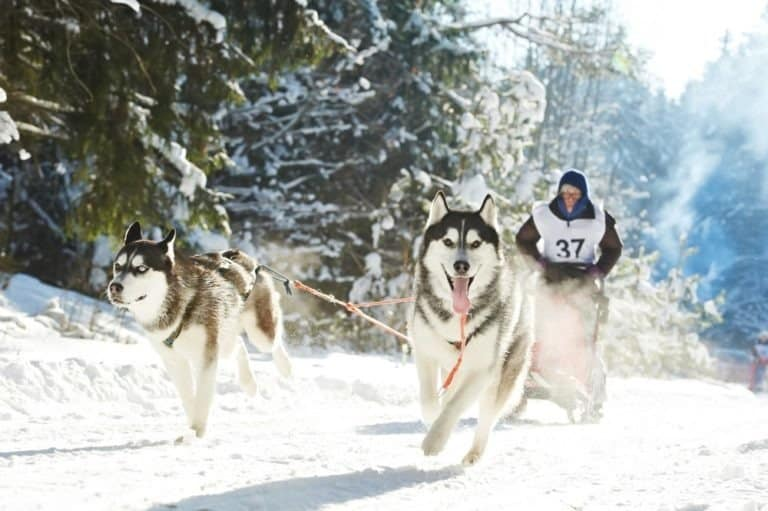 Sled dog racing, musher dog team driver and Siberian husky at snow winter competition race in forest