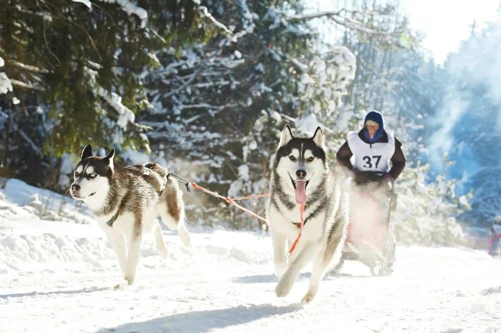 Siberian huskies is a very wolf-like dog breed