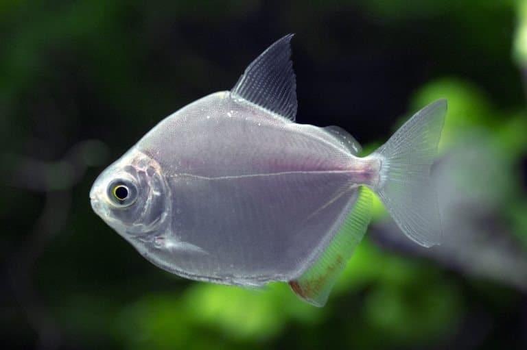 Metynnis hypsauchen - Silver Dollar, under water
