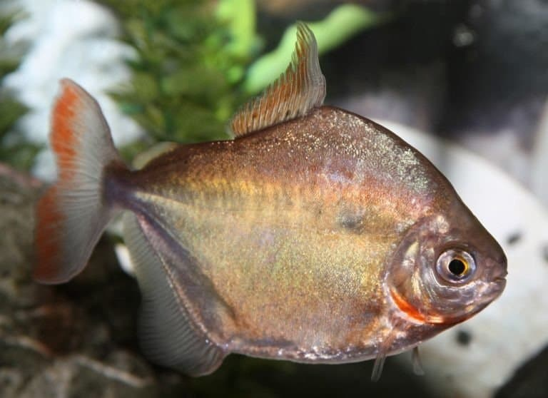 Silver dollar fish in aquarium
