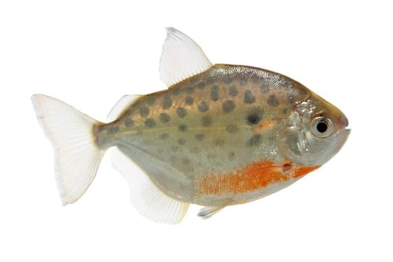 Metynnis lippincottianus (spotted silver dollar fish) on white background