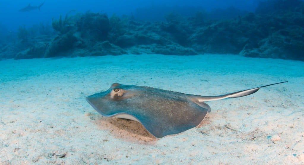 Skate fish on ocean floor