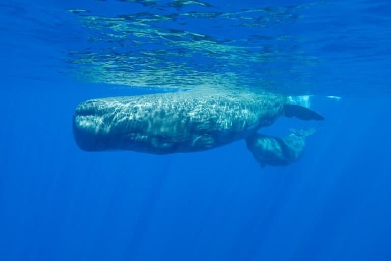 Sperm whale and her calf swimming at the surface, Indian Ocean, Mauritius.