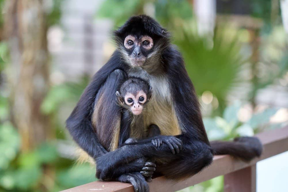 Spider monkey mother and baby