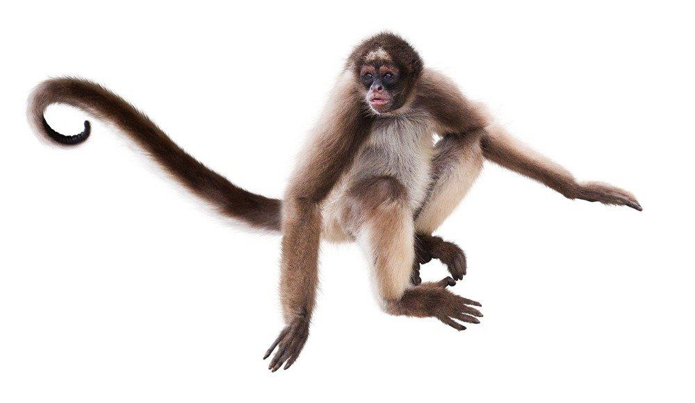 Spider monkey prehensile tail