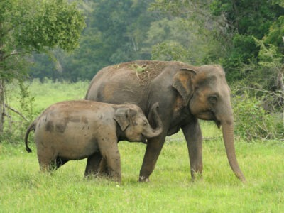 A Sri Lankan Elephant