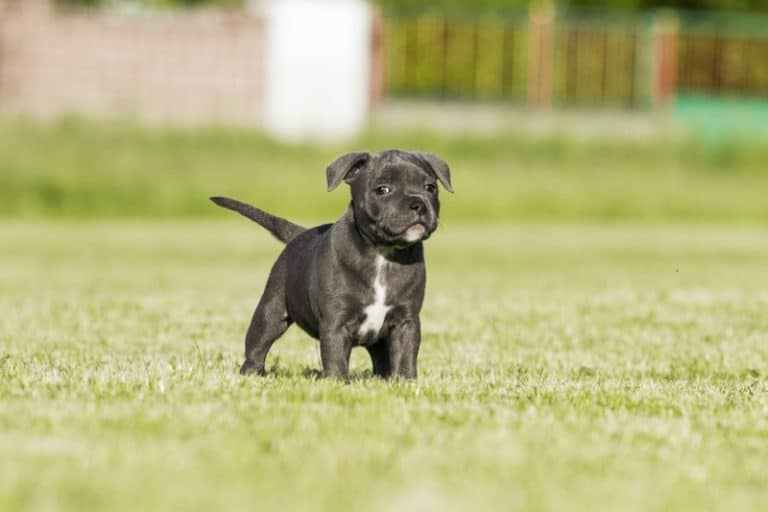 Black Staffordshire bull terrier puppy
