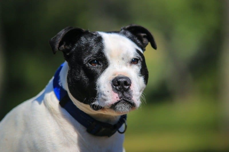 Black and white Staffordshire bull terrier with faded background