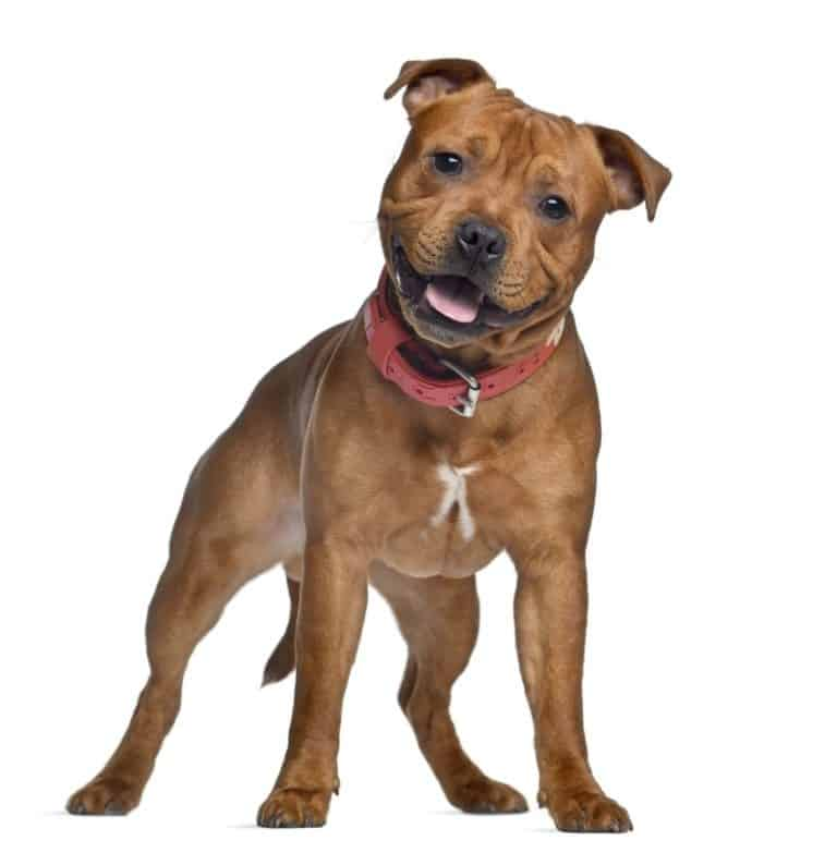 Isolated Staffordshire bull terrier