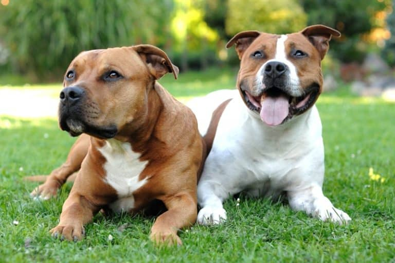 Pair of Staffordshire bull terriers