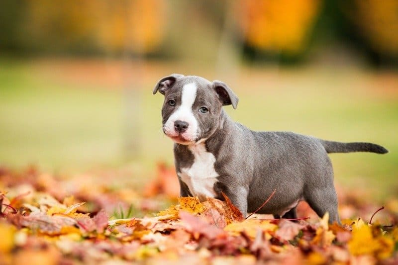 Staffordshire bull terrier puppy in leaves