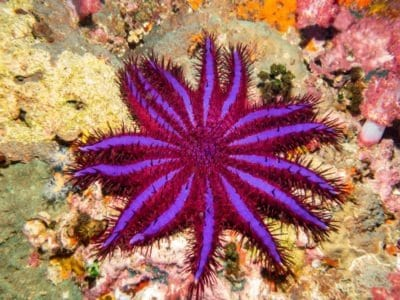 A Discover The 10 Largest Starfish In The World