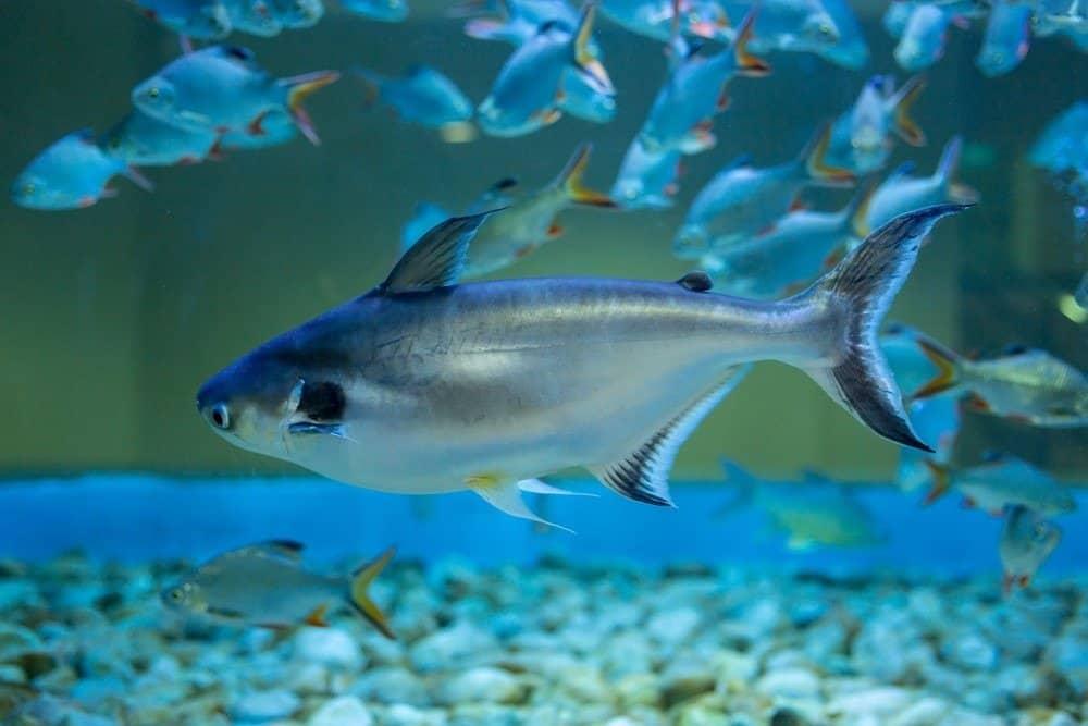 Swai fish in aquarium