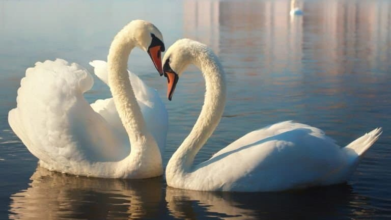 Two white swans.