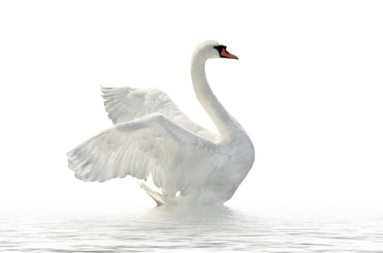 Swan on the white surface.