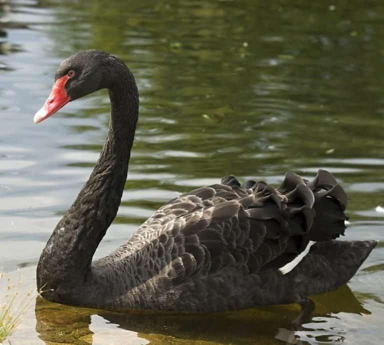 Black swan swimming, Slovakia