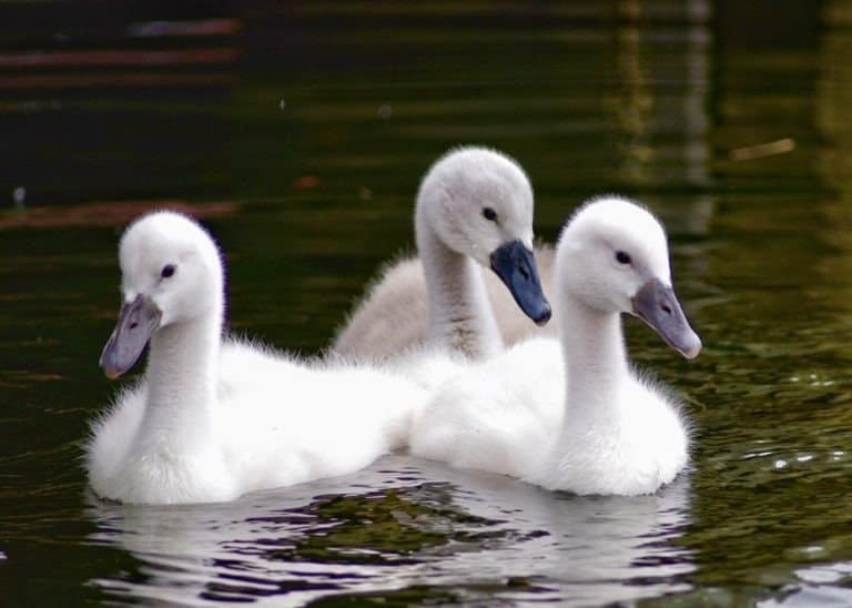 Group of Swan Signets