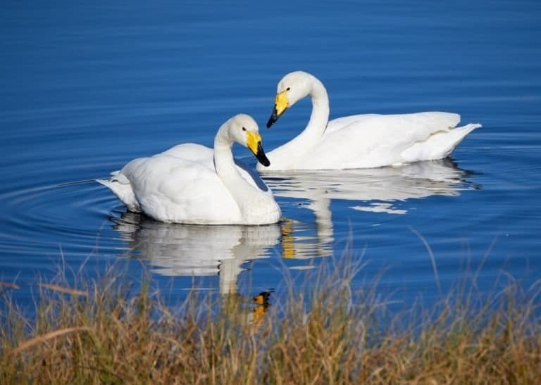 Two whooper swans swimming in the lake in Finland