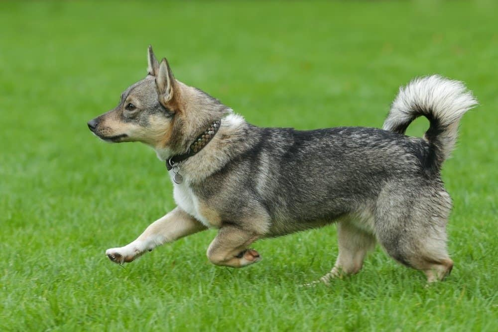 Portrait of typical Swedish Vallhund running during an agility training.