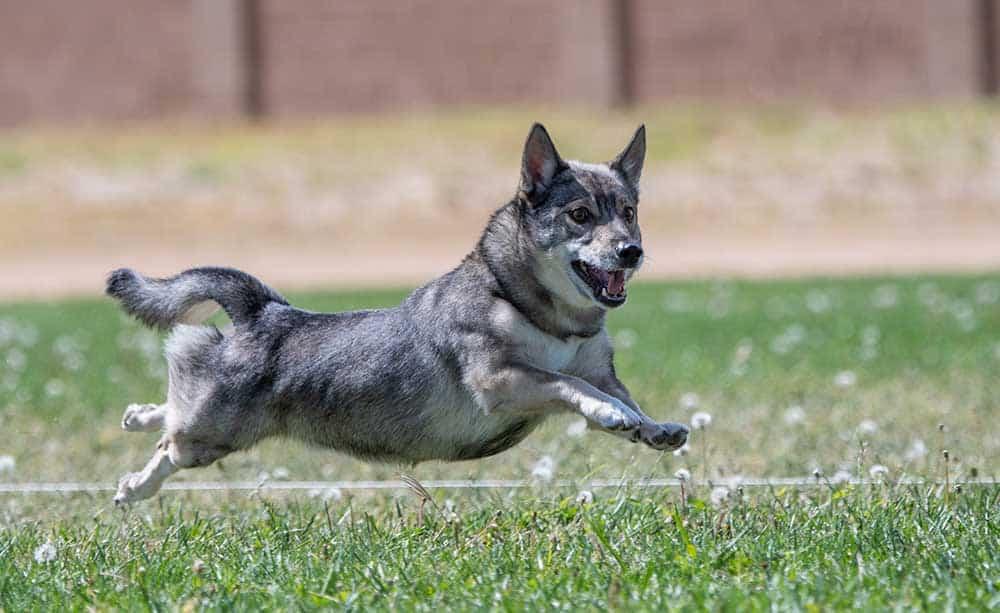 Swedish Vallhund frolicking in the grass