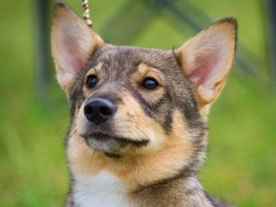 A Swedish Vallhund
