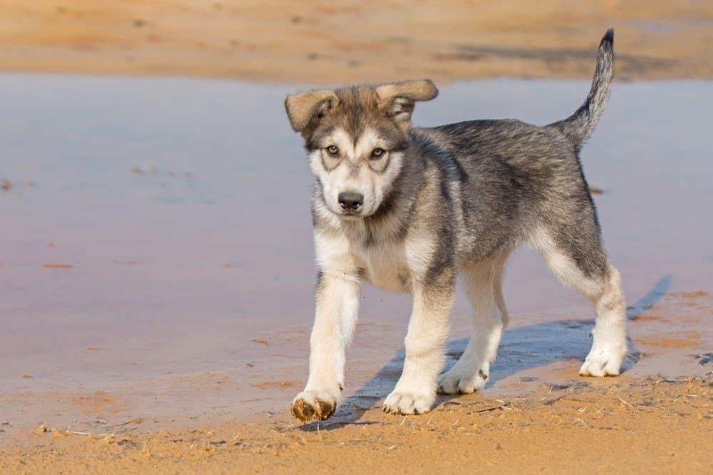 Tamaskan puppy playing at the river