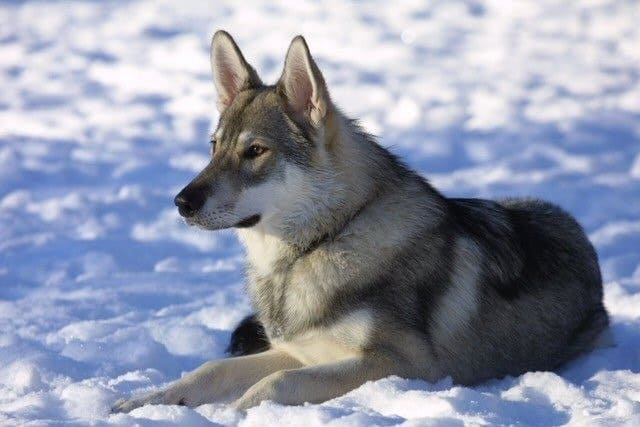 Tamaskan dog lying in the snow