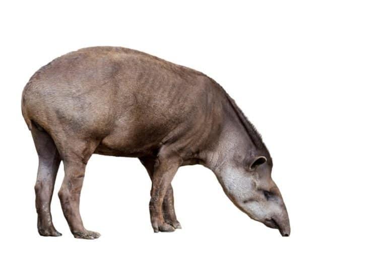 South American tapir (Tapirus terrestris) against white background