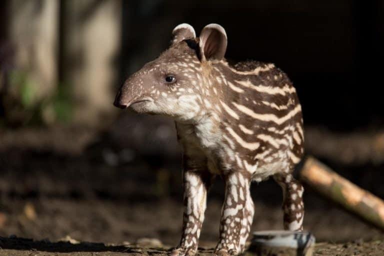 Small striped baby of the endangered South American tapir (Tapirus terrestris)