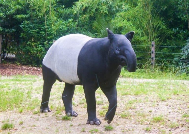 A Malayan tapir is eating grass.